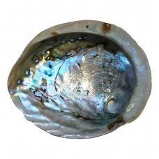 Jūrinės ausinukės kriauklė