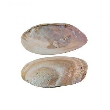 Perlų kriauklė